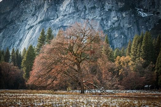 A solitary Oak Tree in Yosemite Valley.